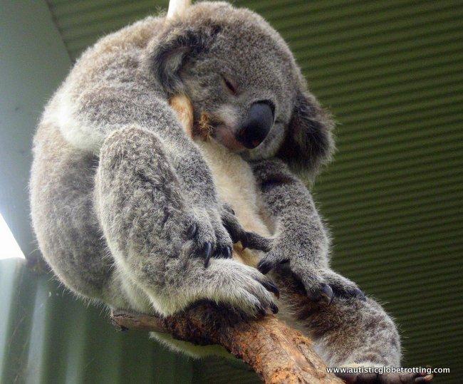 Family Friendly Experiences in Sydney Australia koala
