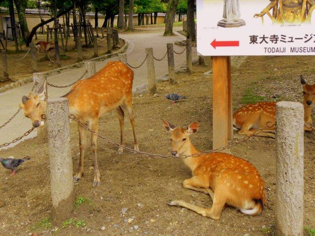 Five Sensory Activities for Families in Kyoto deer