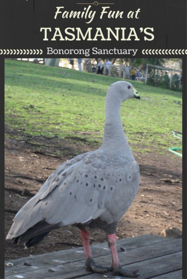 Family Fun at Tasmania's Bonorong Sanctuary pin