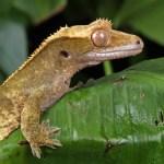 Pet Gecko Helps Boy with Autism