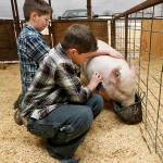 Pigs help young brothers with autism