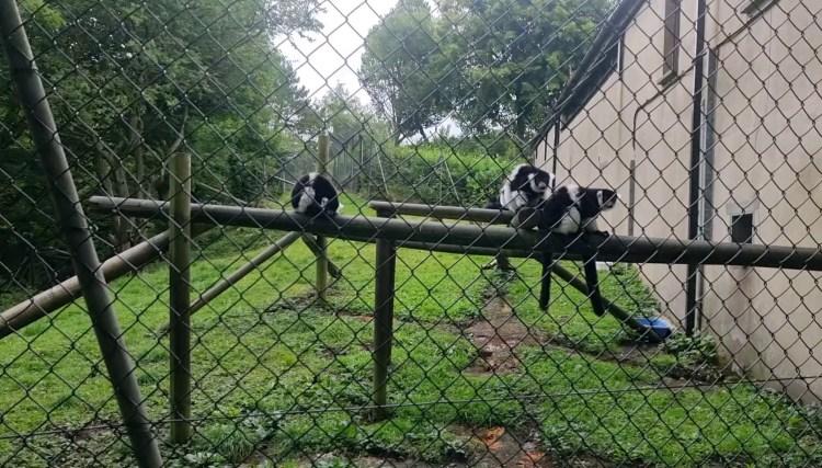 The lemurs at Belfast zoo