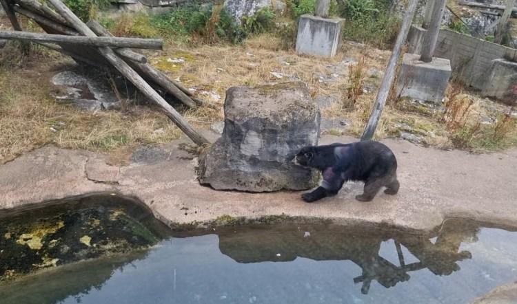 A bear at Belfast zoo