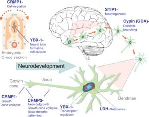 Modelo esquemático que representa las funciones del desarrollo neurológico para cada una de las proteínas diana de autoanticuerpos maternos. La alteración de la función o de la cantidad de proteínas puede alterar negativamente el desarrollo neurológico, que puede conducir a las características centrales asociados con el autismo.