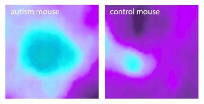 La corteza insular de los ratones con autismo ya está tan fuertemente activada por una sola modalidad sensorial (en este caso un sonido), tanto que es incapaz de desempeñar su papel en la integración de la información de múltiples fuentes.  Foto:  MPI of Neurobiology / Gogolla