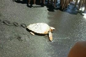 Tortuga Boba en el momento de la liberación. Foto: Autismo Diario