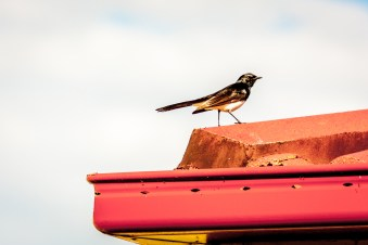 willie-wagtail-1616527-1598x1065