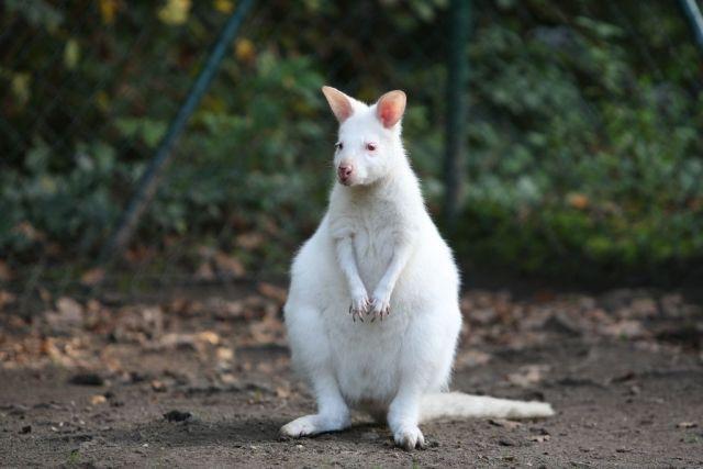 Albino_Kangaroo-bily-klokan