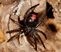 red back australie