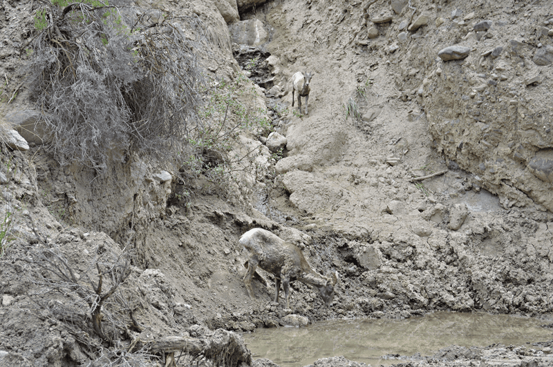 grannie geek older big horn sheep coming to a watering hole, yellowstone