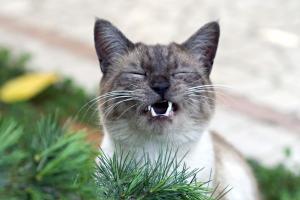 gato quejica