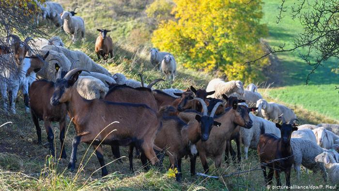 Козье стадо в Бранденбурге