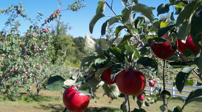 Apple Varieties Grown At Autumn Harvest Orchard LLC