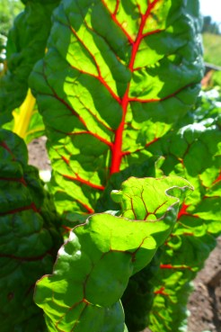 Swiss Chard, '5 Color Silverbeet'