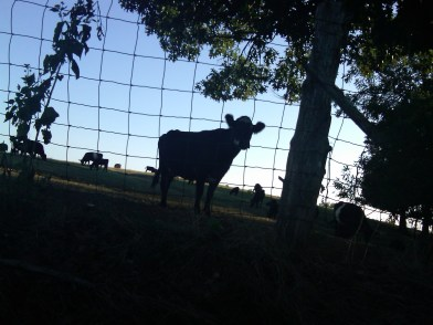 friends-Cow at Sunset, near the Shenandoah River