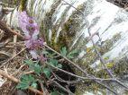 Ein typischer Frühjahsgeopyht im Auwald: Lerchensporn