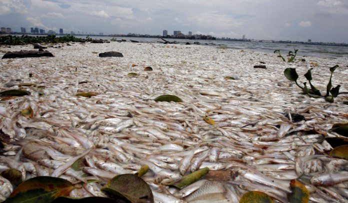 Dead fish are seen floating in the polluted West Lake in Hanoi