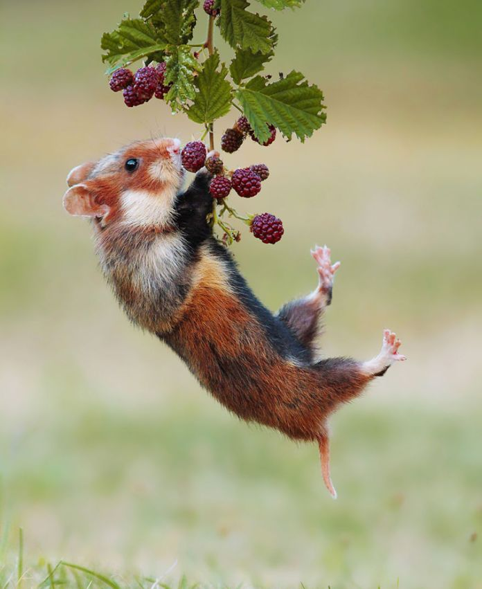 rodent eating berry
