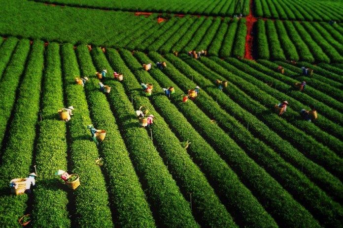 Harvesting Tea Leaves