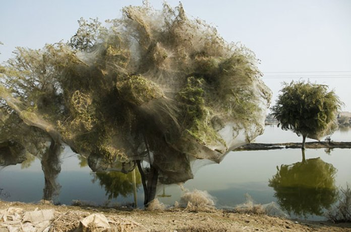 Spiders Cocooned These Trees To Save Themselves From A Flood