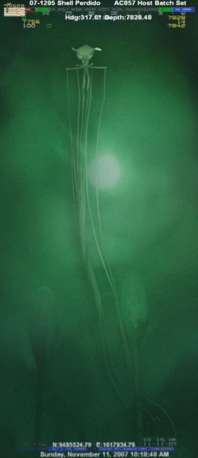 Deep-Sea Squid