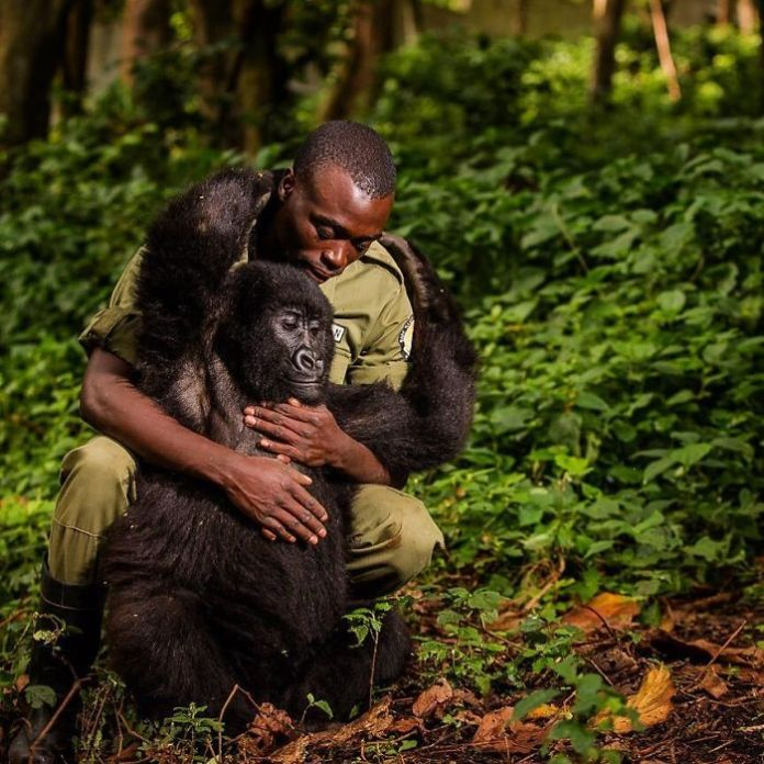 National Park Ranger Matthieu Shamavu embraces Matabishi, an orphaned juvenile mountain gorilla