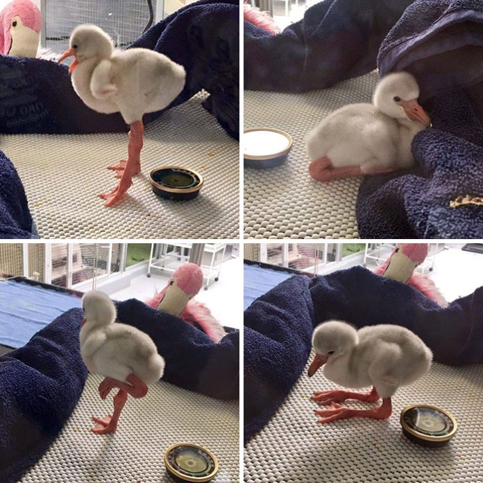 This Is What A Baby Flamingo Looks Lik
