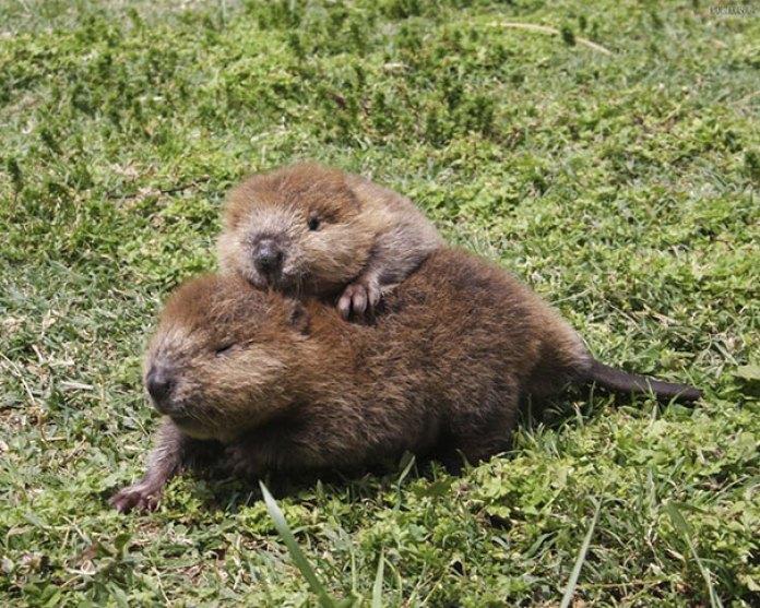 Baby Beaver Buddies