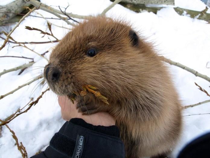 Cute Baby Beaver