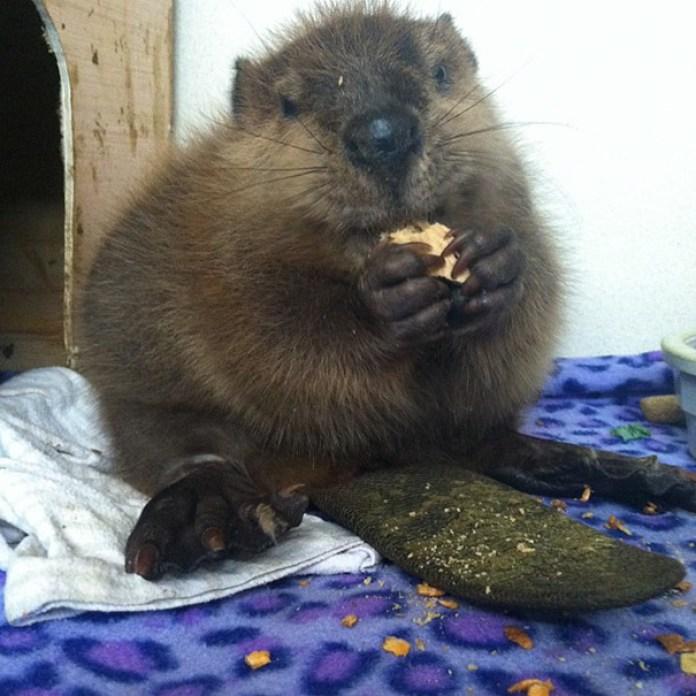 Baby Beaver Eating Wood