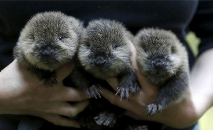 3 Adorable Baby Beavers