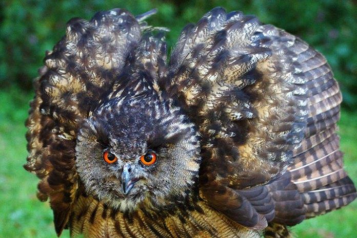 A big intimidating owl