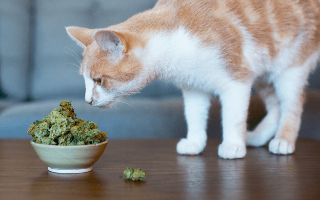 Things to Note Before Using CBD Oil for Pets