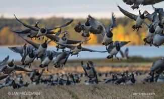 Bird_1319/ Barnacle Goose/ Valkoposkihanhi/ Vitkindad gås