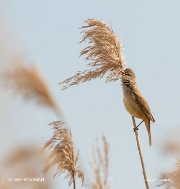 Bird_2868/ Great Reed Warbler/ Rastaskerttunen/ Trastsångare