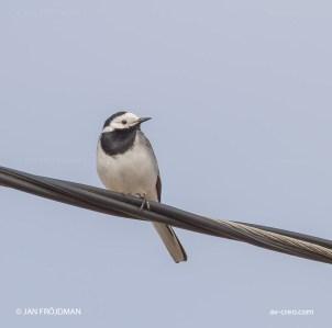 Bird_2924/ White Wagtail/ Västäräkki/ Sädesärla
