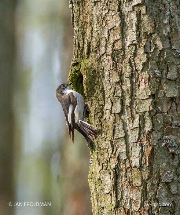 Bird_3890/ Pied Flycatcher/ Kirjosieppo/ Svartvit flugsnappare