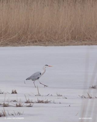 Bird_4966/ Grey Heron/ Harmaahaikara/ Häger