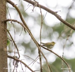 Bird_8449/ Wood Warbler/ Sirittäjä/ Grönsångare