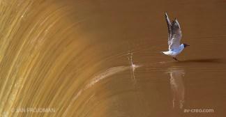 Bird_1478/ Black-headed Gull/ Naurulokki/ Skrattmås