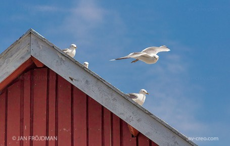 Bird_1596/ Common Gull/ Kalalokki/ Fiskmås