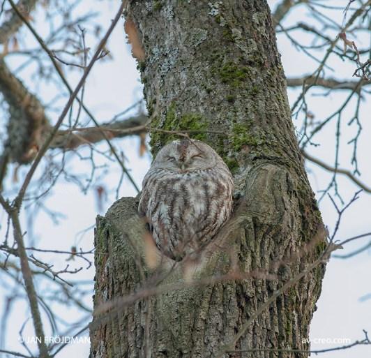 Bird_1074/ Tawny Owl/ Lehtopöllö/ Kattuggla