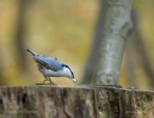 Bird_4016/ Nuthatch/ Pähkinänakkeli/ Nötväcka