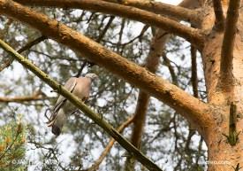 Bird_5322/ Wood Pigeon/ Sepelkyyhky/ Ringduva