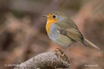 Bird_6968/ Robin/ Punarinta/ Rödhake
