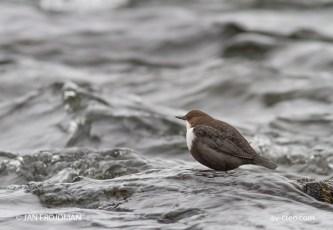 Bird_7266/ Dipper/ Koskikara/ Strömstare