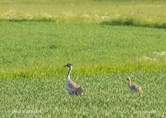 Bird_7726/ Crane/ Kurki/ Trana