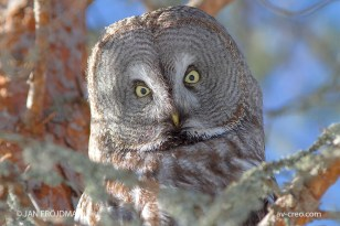 Bird_7778/ Great Grey Owl/ Lapinpöllö/ Lappuggla