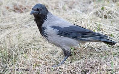 Bird_8567/ Hooded Crow/ Varis/ Kråka