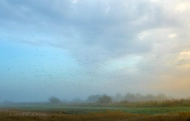 Bird_9317/ Barnacle Goose/ Valkoposkihanhi/ Vitkindad gås